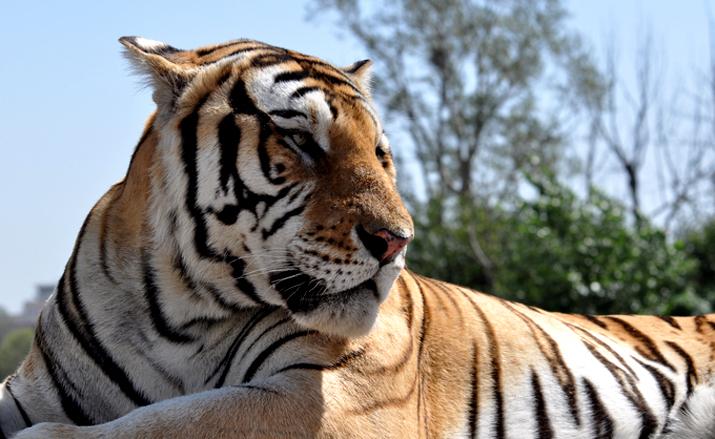 或正在濒临灭绝,森林之王的东北虎如今也正在面临着同样的灾难,它们